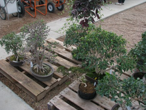 Various DBG trees