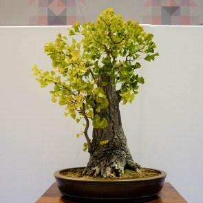 Courtesy of Redwood Empire Bonsai Society