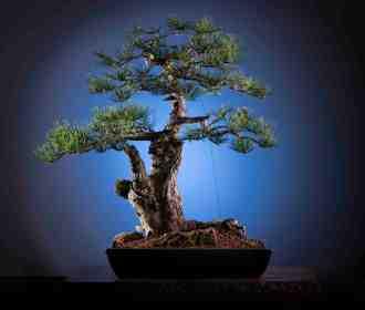 bonsai_low-res