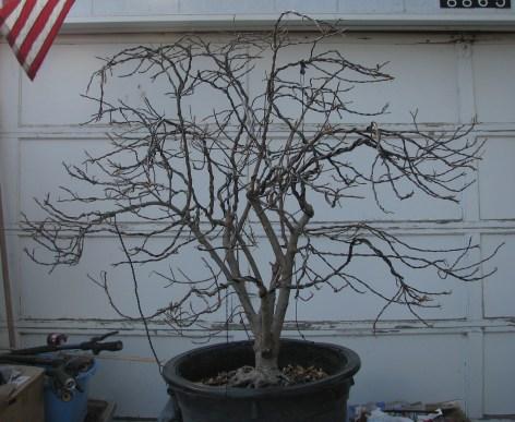 Rhamnus frangula 'Asplenifolia'