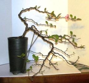 2014 Chaenomeles specios Bonsaia 'Toyo-Nishiki' Bonsai