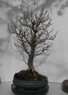 "2017 Spring -Fraxinus anomala ""Single Leaf Ash"""