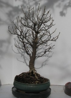 "2017 Spring -Fraxinus anomala ""Single Leaf Ash"""