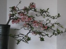 04-17-2017 Chaenomeles speciosa 'Toyo-Nishiki' Bonsai