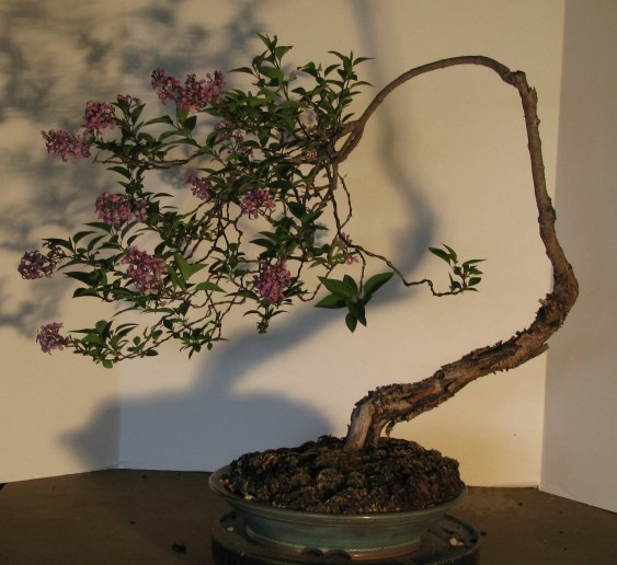 April 2017 Syringa pubescens subsp. patula 'Miss Kim' Bonsai