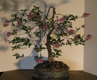 April 2017 Syringa pubescens subsp. patula 'Miss Kim' Bonsai