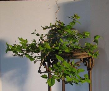 """04-18-2018 Kolkwitzia amabilis - """"Maradco"""" """"Dream Catcher"""" - Beauty Bush Bonsai"""