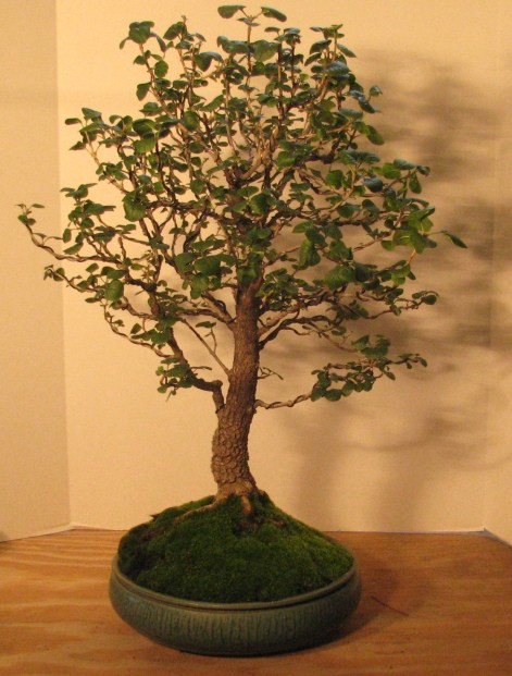 "Bonsai Fraxinus anomala – ""Single Leaf Ash"" Front 8-12-201"