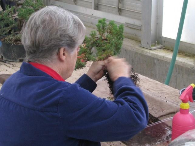 Procumbus Juniper being repotted