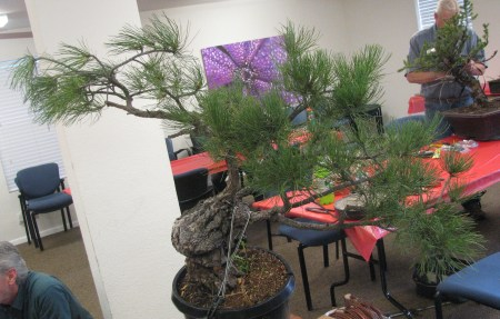 Ponderosa Pine Bonsai - Front Before