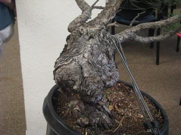 Ponderosa Pine Bonsai Bark Closeup