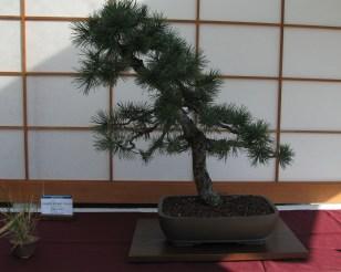 Limber Pine 8 Years in Training