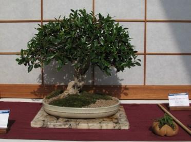 Banyon Ficus 13 Years in Training