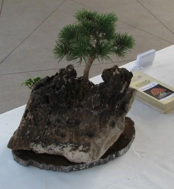 Limber Pine