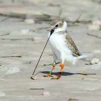 """50 WAYS TO PLEASE YOUR PLOVER"": PIPING PLOVERS ON ABACO (2)"