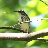 THE 'THRUSH' THAT ISN'T: NORTHERN WATERTHRUSH ON ABACO