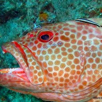 """CLEANING UP"": HOW TINY REEF FISH HELP LARGE FISH"