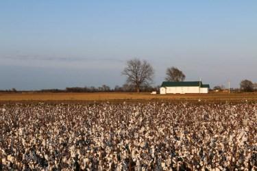 Baumwolle Mississippi Clarksdale Cotton