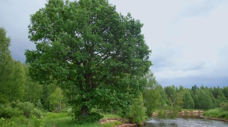 oak-at-the-rivers-bank