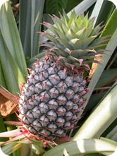 Pineapple-bromelain