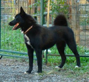 "rare black female Norwegian Buhund ""Storm"""