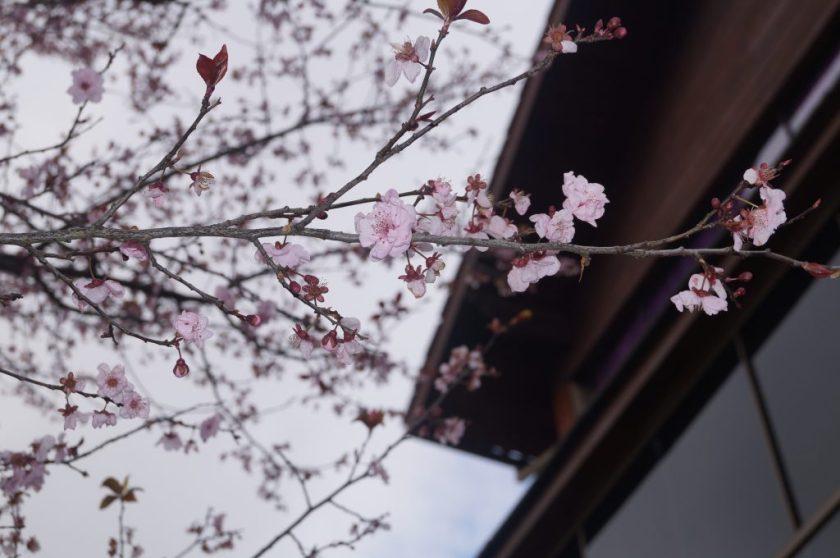 Detalhe da flor de cerejeira