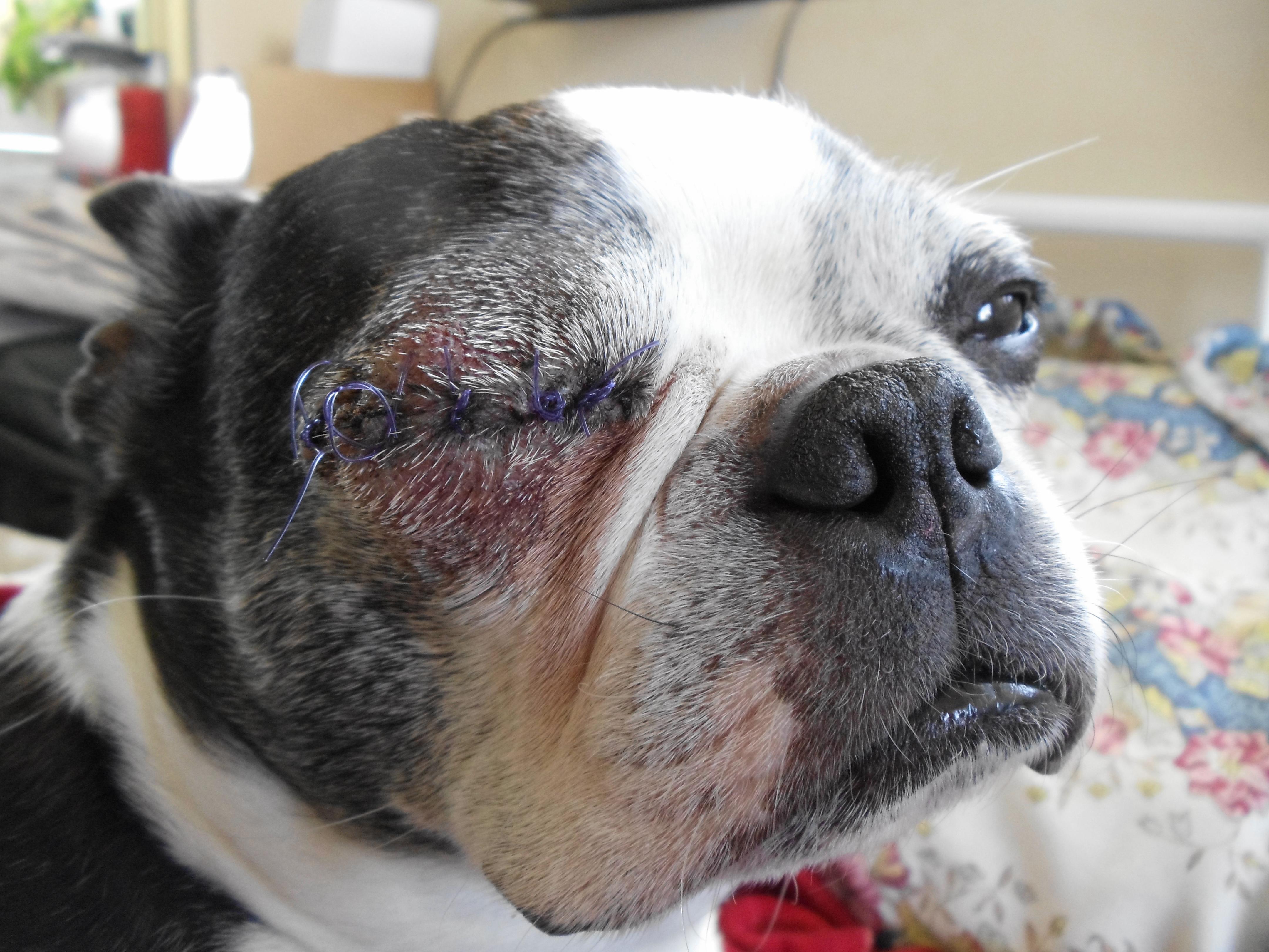 Dainty It Is Now Days Post May 2013 Roxannesrandoms Dog Swollen Bee Sting Dog Swollen Shut Treatment Surgery Was On Friday bark post Dog Eye Swollen