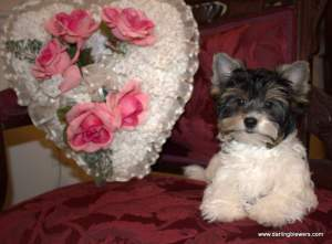 biewer puppies for sale, yorkie puppies for sale, yorkie breeder in va, yorkies for sale in virginia, yorkie puppies for sale, akc yorkie puppies, teacup yorkies