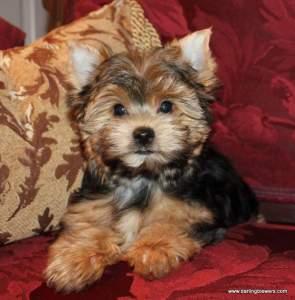 yorkie puppies for sale, yorkie breeder in va, yorkies for sale in virginia, yorkie puppies for sale, akc yorkie puppies, teacup yorkies