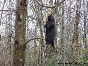 what to do with porcupine