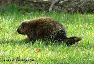 dealing with porcupine on the farm