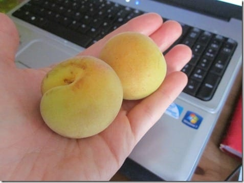 IMG 1619 800x600 thumb Ask a Monican for Organic Apricots