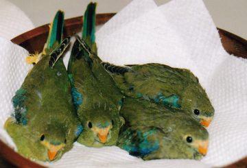 blue-wing parrots