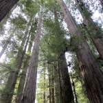 Avenue of the Giants Driving Tour
