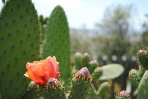 Barcelona_Cactus