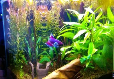 Vhodné zařízení akvária pro Bojovnici Pestrou