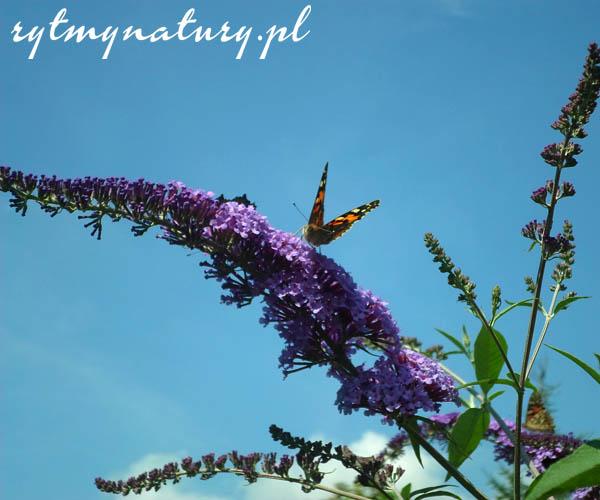 Ta piękna roślina tak zwabia motyle, że trudno uwierzyć