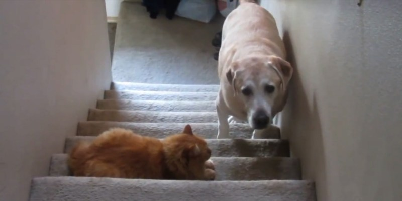 Large Of Dog Wants A Kitty