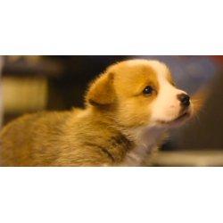 Small Crop Of Cute Corgi Puppies