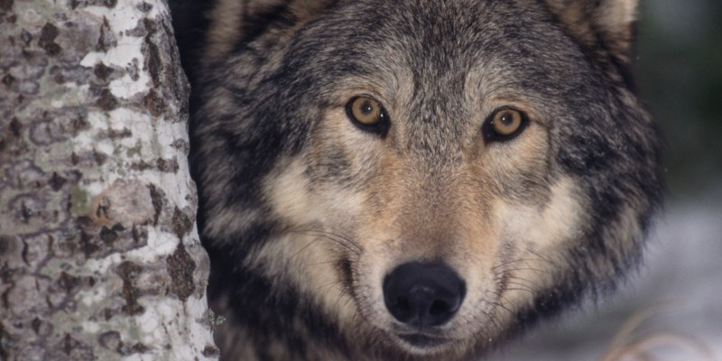 Large Of Wolves For Sale