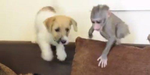 Medium Of Monkey Baby Puppy
