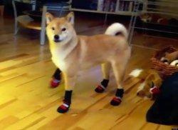 Modish Shiba Inu Does Not Appreciate His New Boots Huffpost Shiba Inu Gifts Ny Shiba Inu Ny Memes