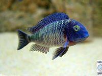 Chiclids on Pinterest | Cichlids, African Cichlids and Malawi Cichlids