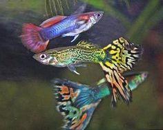 Fish on Pinterest | Aquarium Fish, Freshwater Aquarium and Cichlids
