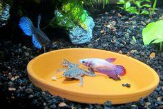 Betta Fishies! on Pinterest | Betta Tank, Betta and Betta Fish