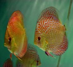 Discus on Pinterest | Discus Fish, Discus and Discus Fish For Sale