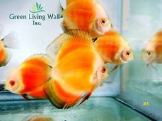 | Pinterest | Discus Fish, Discus Fish For Sale and Fish For Sale
