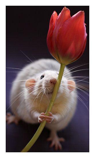Rats are so stinkin' cute!: