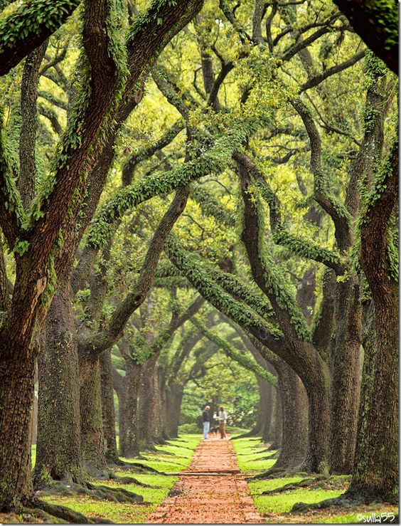 One of the prettiest streets in Houston is South Boulevard.  It took 40 years for the oaks to reach this height.: