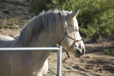 1000+ images about American Cream Draft Horses on Pinterest